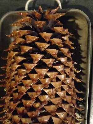 "BEST 12""-15"" Coulter ""Widow maker"" Giant Pine Cones Glazed & Trimmed avg. 3 lbs!"