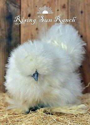 6+ Assorted Color Bearded Silkie/Satin And Frizzled Satin Hatching Eggs NPIP