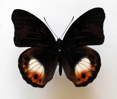 HYPOLIMNAS DEOIS PANOPION - unmounted butterfly