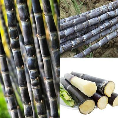 100 pcs Succulent Sugar Cane Seeds Sweet Delicious Candy sugarcane Seed Newly