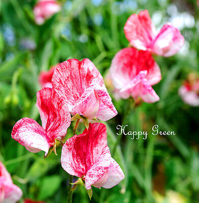 SWEET PEA - HEIRLOOM - AMERICA - 25 SEEDS - Lathyrus Odoratus - FLOWER SEEDS