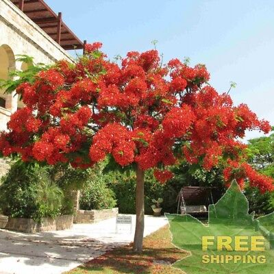 ROYAL POINCIANA Delonix Regia - 10 SEEDS. FREE SH