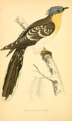 F.O MORRIS BIRDS british 1 WOOD BLOCK ENGRAVING 1864 GREAT SPOTTED CUCKOO