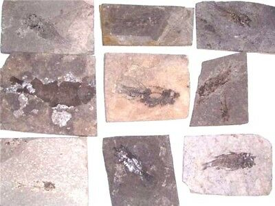 Lycoptera fossil fish jurassic age two fossil fish plates per winner