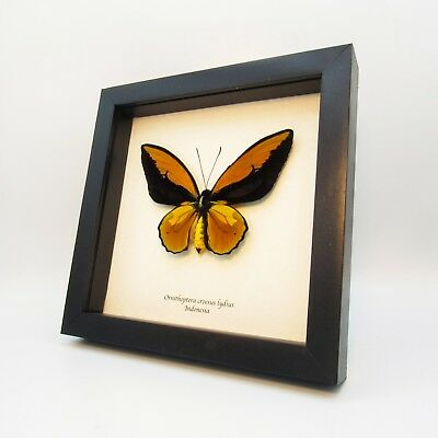 Real XL butterfly framed - Ornithoptera croesus lydius