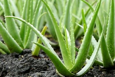 A STAR SELLER ⭐️Small Well Rooted medicinal ALOE VERA plant Improves Air Quality