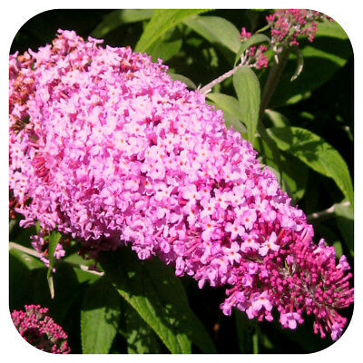 Buddleia Pink Delight Butterfly Bush Shrub Large Plug Plant x 3