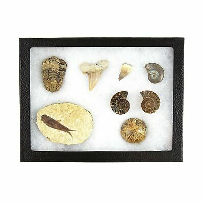 Museum Quality Fossil Collection Kit Featuring Dinosaur Fossils, Ammonites, T...