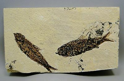 Fossil Fish Knightia Eocaena 7.5 inch Fossil Lake Green River Wyoming #4