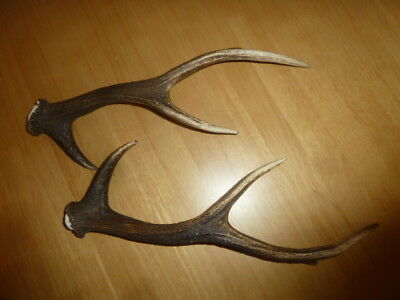 Pair of Sika Deer Horns For Arts Crafts Knife Making Pagen