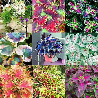 100pcs/Bag Coleus Seeds Bonsai Flower Leaf Plants Rainbow Dragon Seeds RR3 01