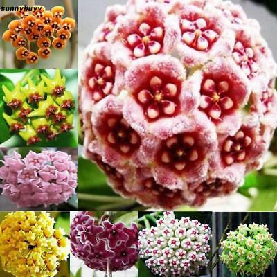 100 Pcs/Bag Mixed Color Hoya Seeds Ball Orchid Seeds Garden Potted Flower RR3