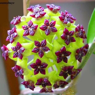 Hoya Carnosa Flower Seeds Bonsai Potted Ball Orchid Flower Seeds Home RR3 01