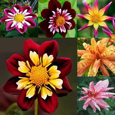 10/20/50pcs Mix Color Dahlia Pinnata Flower Seeds Bonsai Flower Seeds RR3