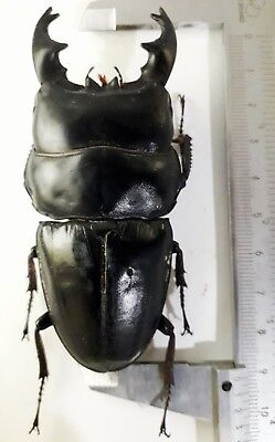 Big monster Short horn Dorcus alcides 91mm from Sumatra Indonesia