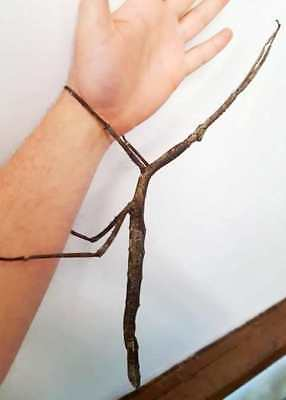 GIANT Stick Insect – Tirachoidea biceps 'Striped', 10 Eggs