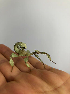 10 X Macleays Spectre Stick Insect eggs