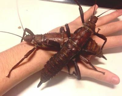 GIANT Stick Insect – Eurycantha calcarata, 10 Eggs