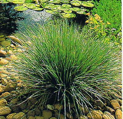 Juncus Grass EVERGREEN Aquatic Pond Reed Live Water Plant Rush Marginal