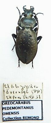 Carabus oreocarabus pedemontanus omensis (female A1 but was pinned) from ITALY