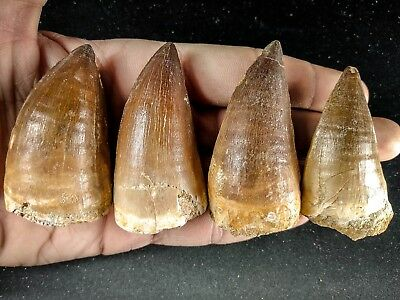 J18 - Top Quality Collection of 4 Huge PROGNATHODON (Mosasaur) Teeth