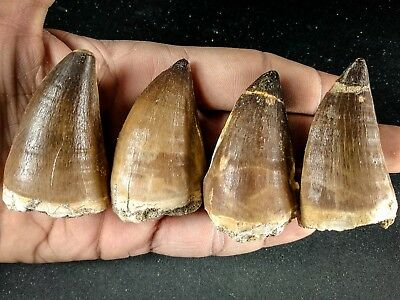 J19 - Top Quality Collection of 4 Huge PROGNATHODON (Mosasaur) Teeth
