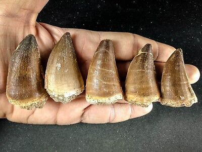 J22 - Top Quality Collection of 5 Huge PROGNATHODON (Mosasaur) Teeth
