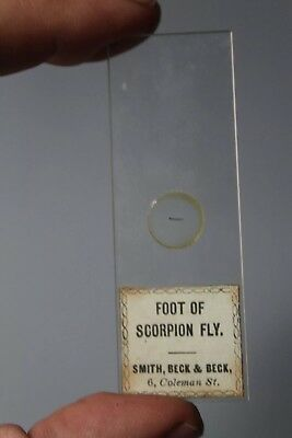 """Fine Victorian Entomology Microscope Slide """"foot Of Scorpion Fly"""" By Beck"""