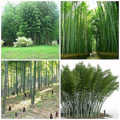 Fresh Graines Phyllostachys pubescens Moso Bambou,bambou géant,moso bamboo seeds
