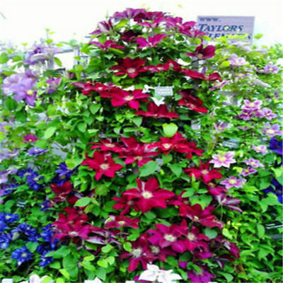 50Pcs Clematis Flower Outdoor Climbing Plants Mixed 24 Colors Seeds Decoration