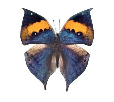 One Real Butterfly Blue Kallima Inachus Leaf Mimic Unmounted Wings Closed