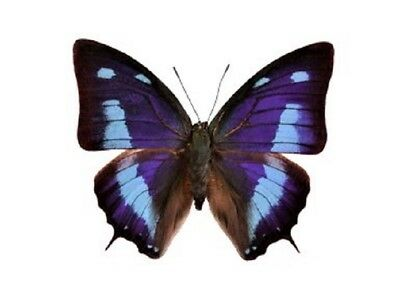 One Real Butterfly Blue Anaea Cyanea Peru Unmounted Wings Closed