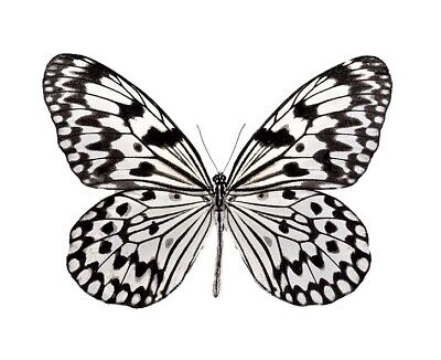 One Real Butterfly White Black Rice Paper Idea Idea Unmounted Wings Closed