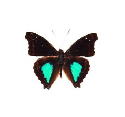 One Real Butterfly Blue Green Doxocopa Cyane Peru Unmounted Wings Closed