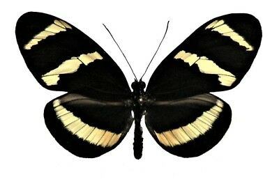 One Real Butterfly Yellow Black Heliconius Hewitzoni Peru Unmounted Wings Closed