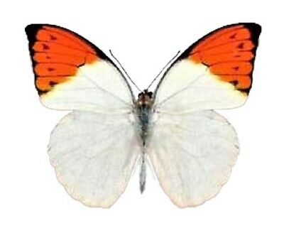 One Real Butterfly Orange Hebomoia Glaucippe Unmounted Wings Closed