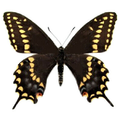 One Real Butterfly Yellow Black Swallowtail Papilio Polyxenes Male Wings Closed