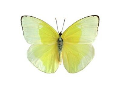 One Real Butterfly Yellow Phoebis Statira Florida Unmounted Wings Closed
