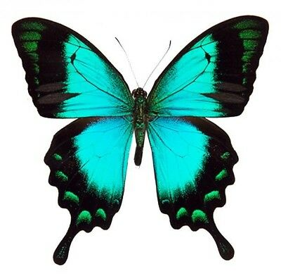 One Real Butterfly Blue Green Papilio Lorquinianus Indonesia Wings Closed