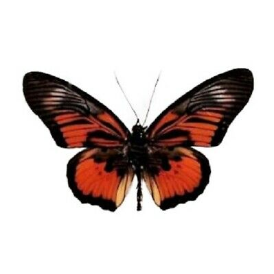 One Real Butterfly Red Orange Pseudoacraea Clarki Africa Wings Closed