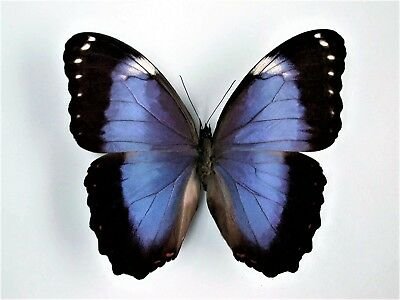 One Real Butterfly Purple Blue Morpho Helenor Violaceus Ecuador Wings Closed