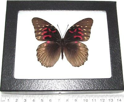 Real Framed Butterfly Red Pink Anetia Thirza El Salvador Rare