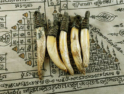 Real 5 Pig Tooth Thai Amulet Fang Hog Pendant Wild Boar Holy Power Protection