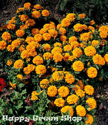 French Marigold - Orange Boy - 300 seeds - Tagetes Patula nana - ANNUAL FLOWER