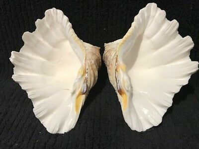 Tridacna  Whole (Bears paw Clam) 150mm 6 inches Item C38