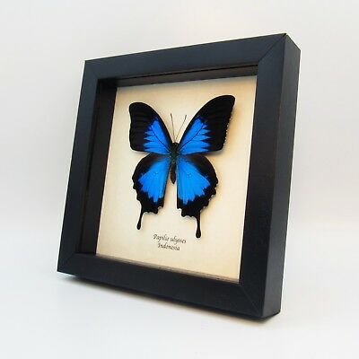 Real iridescent blue butterfly framed - Papilio ulysses