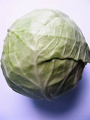 500 COPENHAGEN MARKET EARLY CABBAGE Heirloom Brassica Oleracea Vegetable Seeds