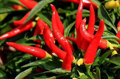 300 THIN CAYENNE PEPPER Hot Chili Long Green Red Slim Capsicum Vegetable Seeds