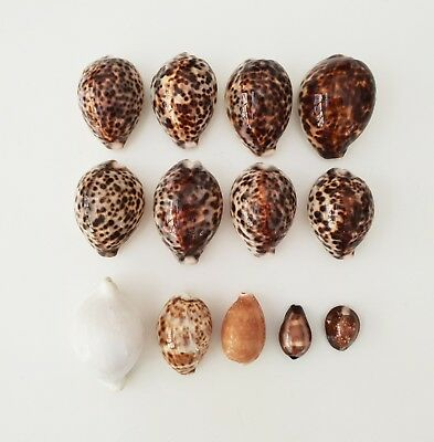Assorted Collection of 13 Cowrie Shells | Excellent condition