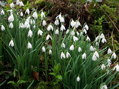 SINGLE SNOWDROPS IN THE GREEN RHS AGM Grown in Norfolk -  25 |  50 | 100 | 500